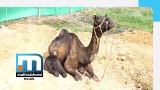 Baby Camel Hogs Attention In Wayanad| Mathrubhumi News