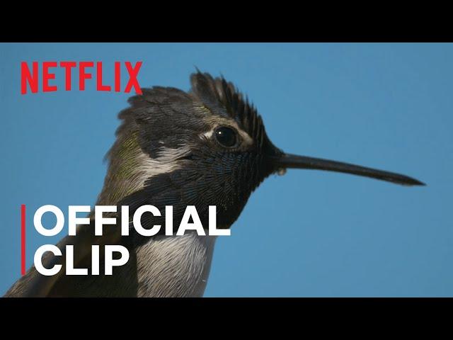 «La vida a color con David Attenborough»: Cómo se logró la toma del colibrí de Costa