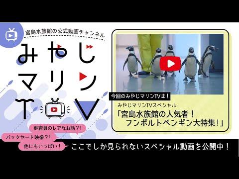 【みやじマリンTVスペシャル】宮島水族館の人気者!フンボルトペンギン大特集!
