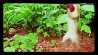 Chipmunk jumping to get Cherry