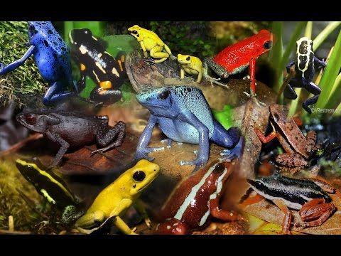 Poison Dart Frog Pictures
