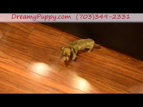 Playful Miniature Dachshund Female puppy