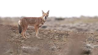 The Worlds rarest Canid, and Africas most endangered Carnivore || Ethiopian Wolf || 4K