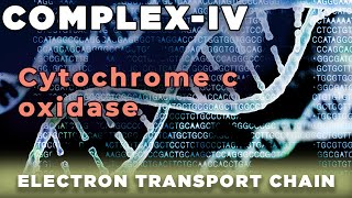 Cytochrome Oxidase - Electron Transport Chain