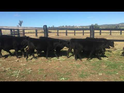 75 Unweaned Steers
