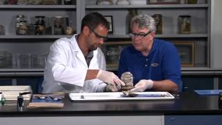 Detailed Clam (bivalve, molluscs or mollusks) Dissection (Jr. High, High School and College Review)