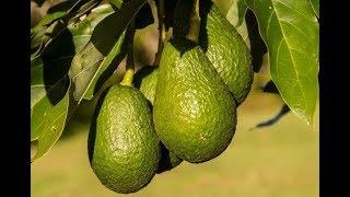 Kilimo cha parachichi: Changamoto wanazozipitia wakulima | Suala Nyeti
