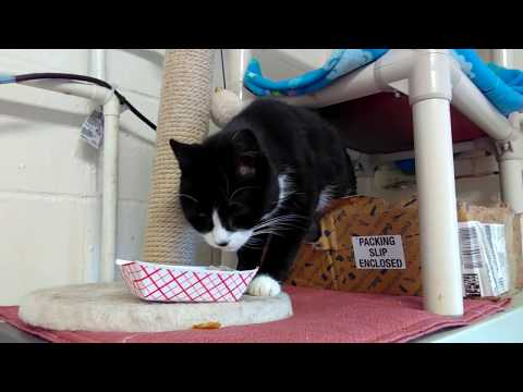 Mommy, an adopted Domestic Short Hair in Mt. Vernon, NY