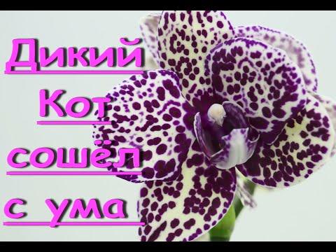 """ФАЛЕНОПСИС """"Дикий Кот"""" СОШЁЛ С УМА.Орхидея phal. 'Wild Cat'."""