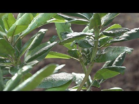 Skrundā turpina stādīt rododendrus
