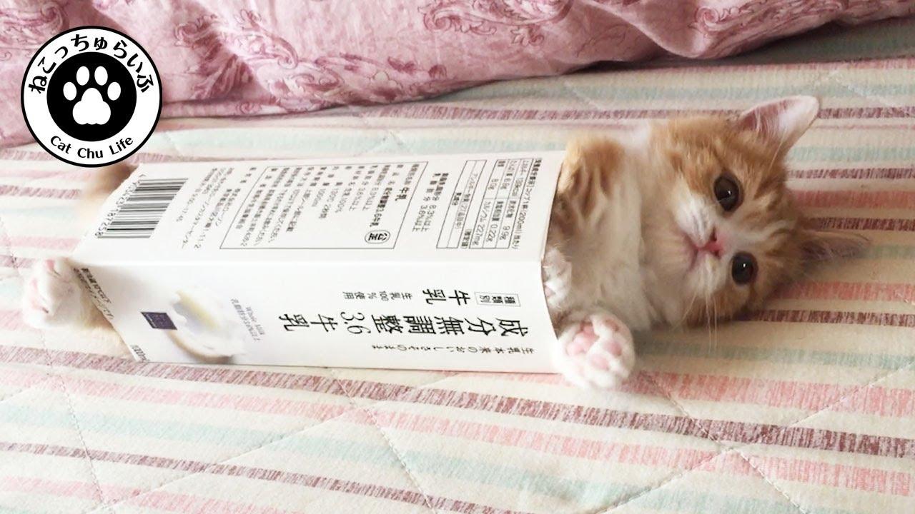 まさかの牛乳パックにすっぽりはまっちゃう短足マンチカンのてと君のジタバタが可愛い【短足マンチカンの子猫|てと君の日常|猫動画】Munchkin kitten stuck in a milk pack