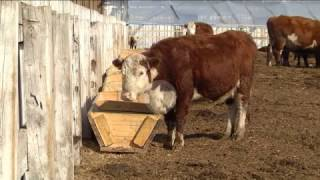 В Приамурье привезли племенных быков. 14 голов развезли по нескольким хозяйствам региона.