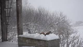 Squirrel Searching in Snow, Vermont January 2021