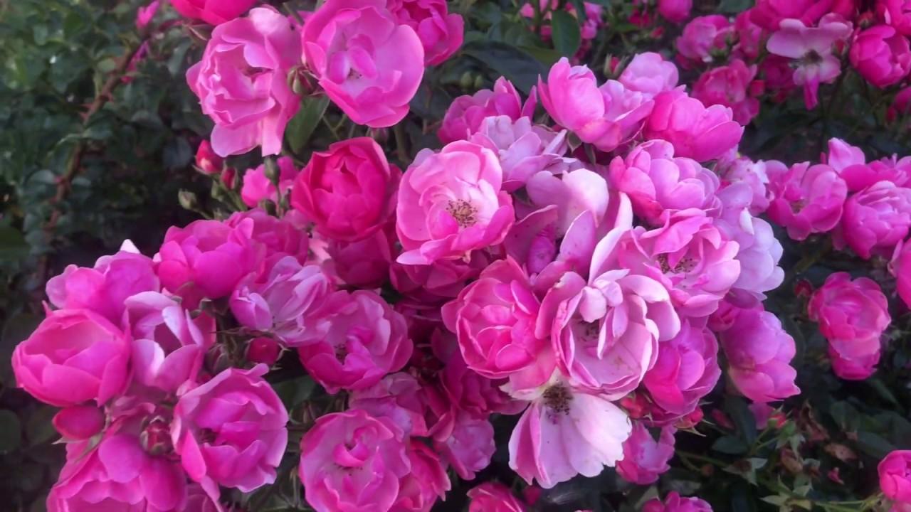 Буйное цветение роз. Роза АНГЕЛА (ANGELA) / питомник Роз Елены ИВАЩЕНКО