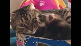 Кот и хорек (озвучка)
