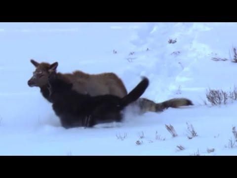 Wolf vs Elk Deadliest Showdowns - Earth Unplugged #03