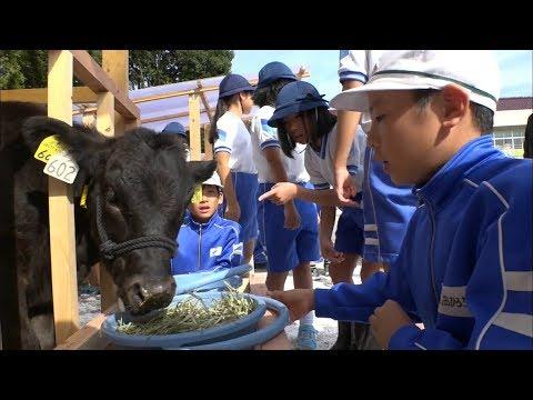 特産の千屋牛が小学校に 散歩やえさやり…子牛の飼育体験 岡山・新見市
