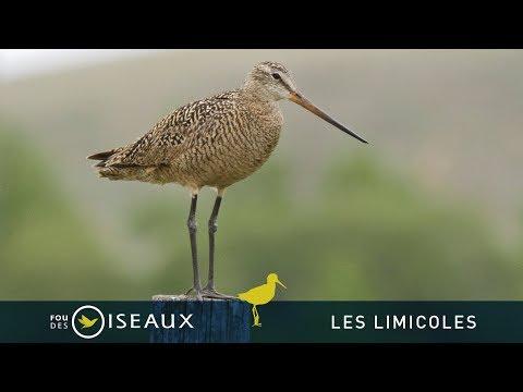 Jolie vidéo sur les oiseaux limicoles