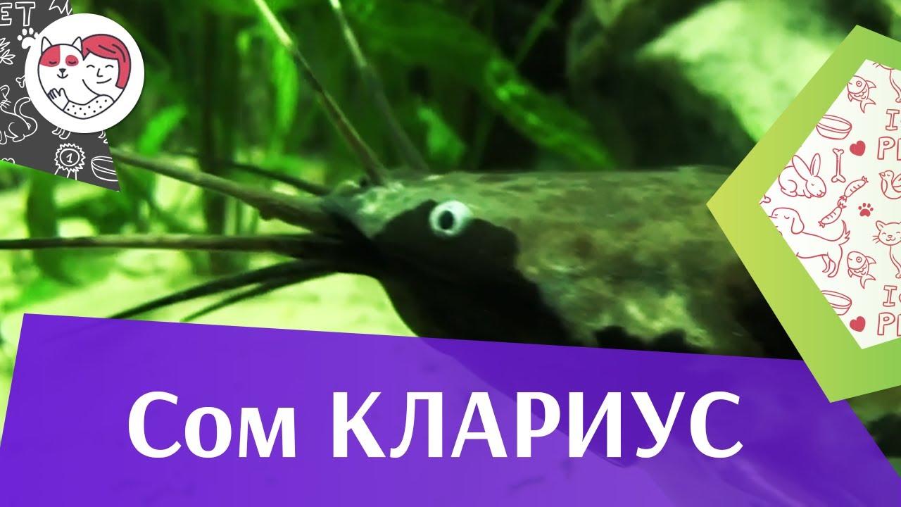 Сом клариус АкваЛого на ilikePet