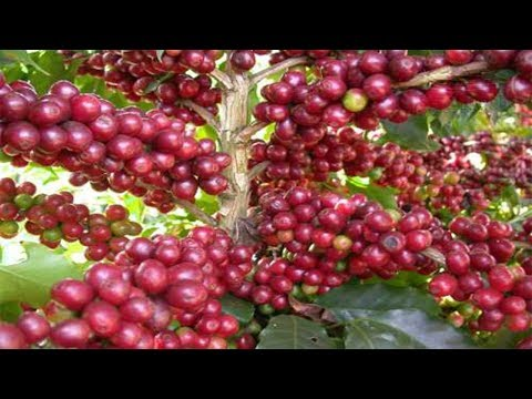 Orchids Flowers   Amazing Agriculture Technology - Coffee tree