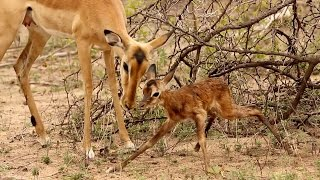 Baby Impala Learns To Walk