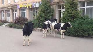 Коровы штурмуют магазин