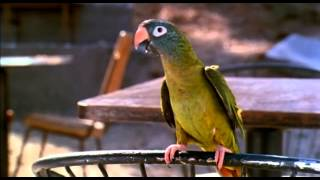 'Paulie' the Movie a Hand Raised Conure Parrot is Paulie