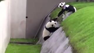 Funny Video  Playful Panda Has To Be Rescued After Getting Stuck In Ditch