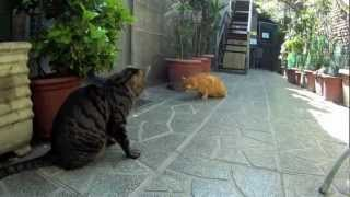preview picture of video 'Roman Cats - Torre Argentina, Rome'