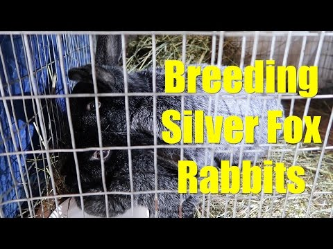 , title : 'Breeding Silver Fox Rabbits