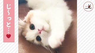 愛らしい姿にキュン😍かまってアピールが可愛い子猫ちゃん💕PECOTV