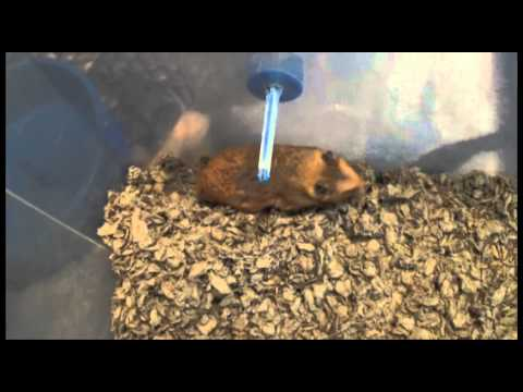 Download How To Tell If Your Hamster Is Getting Old Mp4 HD Video and MP3