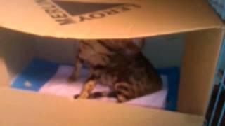 Роды. Бенгальская кошка Алиса.