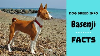 Basenji dog breed. All breed characteristics and facts about Basenji dogs
