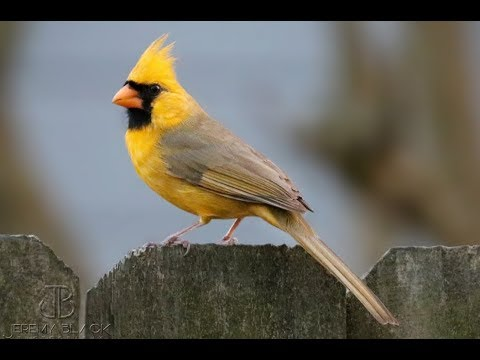 Rare yellow cardinal spotted in Alabama