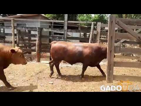 Lote0277 - 20 Touros Senepol P.O. em Bela Vista de Goiás - GO