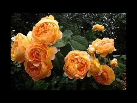 Я снова рисую розы