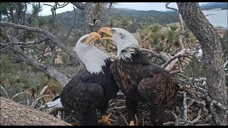 Big Bear Eagle Cam ~ Most Productive Day Of The Year; Sticks Galore By Shadow & Mrs 12.21.18