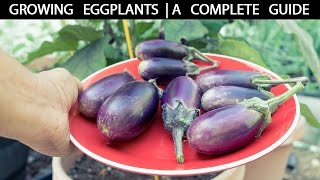 How to Grow Eggplants - The Complete Guide To Growing Eggplants