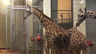 Meet the Newest Giraffe Herd Member, Ohe!