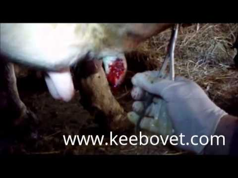 , title : 'Cow With Wound On The Papilla Mamae, Veterinarian Helps - 62