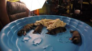 puppie twitches /nap time (kiras pups day 5)- NON 360 FOOTAGE