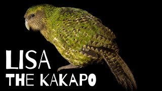 The story of Lisa, the kakapo