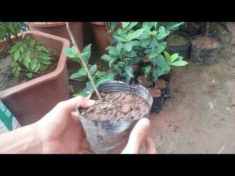 Hướng dẫn kỹ thuật trồng chè xanh