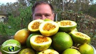 5 Tips How To Grow a Ton of Passionfruit From ONE Passion Fruit!