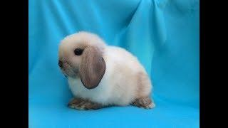 Маленькие декоративные кролики бараны сиамского окраса. Видео.  Питомник кроликов Зайкина усадьба