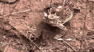Texas horned lizard eating red harvester ants (video by B. M. Drees)