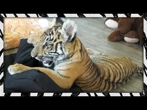 Baby Tiger Vs. Dog Beds!