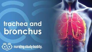 Trachea & Bronchus - Nursing Study Buddy Video Library