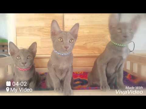 Rejinald Cattery 25 years breeding beautiful cats - смотреть